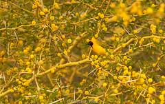 Weaver Bird - Camouflaged in its environment. (kamleshpillai) Tags: bird southafrica nest weaver birdnest weaverbird weaverbirdnest