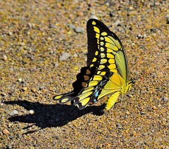 Shadow Maker (vgphotoz) Tags: shadow summer arizona macro nature phoenix yellow butterfly nikon insects daytime nikkor d3100 vgphotoz