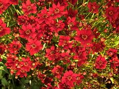 Mädchenauge (Coreopsis verticellata 'Pumpkin Pie') (fotoculus) Tags: flowers flores germany deutschland flora hessen blossoms blumen alemania allemagne germania landesgartenschau alemanha duitsland blüten giesen mädchenaugecoreopsisverticellatapumpkinpie