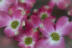 Dreaming in Pink: Pink Dogwood Blossoms (Life_After_Death - Shannon Renshaw) Tags: life wood pink flowers red dog flower detail macro tree art floral canon garden botanical photography eos death petals soft day blossom gardening petal shannon bloom flowering after wildflowers dogwood dslr delicate botany wildflower canondslr canoneos heavenly intricate lifeafterdeath 50d shannonday canoneos50d eosdslr canoneos50ddslr lifeafterdeathstudios lifeafterdeathphotography shannondayphotography shannondaylifeafterdeath lifeafterdeathstudiosartandphotography shannondayartandphotography