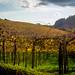 Vineyards from Brazil