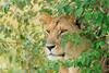 Leoa (dragoms) Tags: africa ilkeliani kenya maasaimara mara quénia áfrica leão pantheraleonubica lion dragoms wildlife wildlifephotography wildlifeconservancy