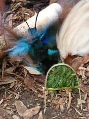 headdress at sing-sing at village near kumul lodge (Pete Read) Tags: headdress singsing village kumul lodge mount hagen papau new guinea