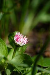 Gänseblümchen / Daisy (OK's Pics) Tags: arten blende63 blüte brennweite35mm105mm de deutschland gänseblümchen hessen iso80 kameranikond810 mainzkostheim objektivafsvrmicronikkor105mmf28gifed pflanze wiesbaden zeit1250