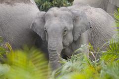 Elefante Asiático (ik_kil) Tags: indianelephant elefanteasiático elefanteindio asianelephant elephas elephasmaximus kaziranganationalpark kaziranga elephant mammal assam india