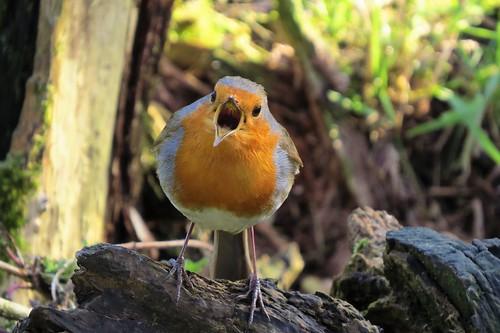 Shouting robin