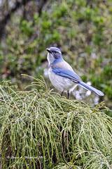 021817 ScrubJayintheRain glow 4x (wildcatlou) Tags: winter outdoors nature wildlife bird jay scrubjay