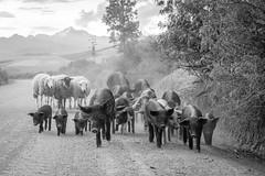 The Crew, Peru (Geraint Rowland Photography) Tags: animals farm farmanimals herd walkinganimalswalking pigs sheep blackandwhite cusco peru peruvianstreetphotography canonphotographybygeraintrowland streetphotography landscapes chinceros