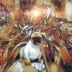 """My tribute to da 🎥film, Hack Saw Ridge… I'ms without weapons🔫 in da jungle,🌴saving lives of da soldiers!"" PugsleyLuigi  #pug #oscar #bestpicture #semperfi #academyawards #dog (TheZenOfPugsleyLuigi) Tags: pug oscar bestpicture semperfi academyawards dog"
