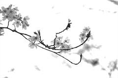 norland cruz photography: wind-blown cherry blossoms in union square (norlandcruz74) Tags: blackandwhite unionsquare unionsquarepark branches spring springtime sakura april 2017 norland cruz nikon dx d5100 branch union square ny nyc new york city usa us america pinoy filipino filam cherry blossoms flora