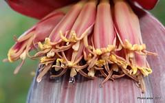 Musa sp - Florescencia (Landahlauts) Tags: andalucia banana bananadwarfcavendish bananatree banano blume calahonda cambur comarcadelacostatropical costadegranada costatropical flor flower fujifilmfujinonxc1650mmf3556oisii fujifilmxa2 guineo liliopsida maduro magnoliophyta motril musa musaacuminata musabalbisiana musacavendishii musaparadisiaca musaxparadisiaca musaceae plant planta plantae plantano platanera platano topocho zingiberales costatropicaldegranada