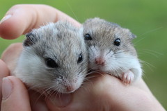 IMG_0272_1 (jopaz53) Tags: efs1855isll hamsters