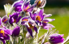 Happiness Factor (Karen McQuilkin) Tags: pasqueflowerbacksippa happiness factor blooms flowers purple orange karenmcquilkin mogopp
