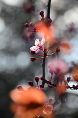 Dream awake (James_D_Images) Tags: cherry blossom flower spring backlit bokeh dof