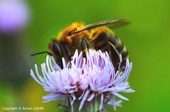 Honeybees, Souls of the Nature (NATIONAL SUGRAPHIC) Tags: macrophotography keremali lakekeremali keremaligölü gölyayla keremaliyaylası hendek çamlıcavillage çamlıcaköyü sakarya adapazarı türkiye yenitürkiye newturkei turkei naturephotography doğafotoğrafçılığı mothernature annedoğa arılar balarıları honeybee