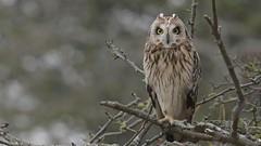 Short-eared Owl (KHR Images) Tags: shortearedowl seo short eared owl asioflammeus wild bird birdofprey perched closeup cambridgeshire fens eastanglia wildlife nature nikon d500 kevinrobson khrimages