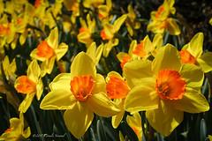 Spring Cheer (CVerwaal) Tags: centralpark conservatorygarden flowers spring newyork ny usa daffodils sonyrx100iii