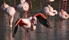 flamants roses (Marc ALMECIJA) Tags: flamant rose pink flamingo camargue eau water reflections reflets wildlife nature natur sony rx10 oiseau bird