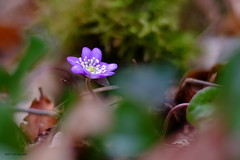 Printemps bleu (jpto_55) Tags: fleur anémone bleu printemps proxi bokeh xe1 fuji fujifilm omlens om50mmf2macro hautegaronne france