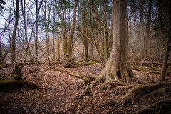 Roots (A Great Capture) Tags: agreatcapture agc wwwagreatcapturecom adjm ash2276 ashleylduffus ald mobilejay jamesmitchell toronto on ontario canada canadian photographer northamerica torontoexplore spring springtime printemps 2017 eos digital dslr lens canon 70d natur nature naturaleza natura naturephotography naturethroughthelens outdoor outdoors woods trees tree leaves leaf foliage autumnleaves branch branches moss green root roots forest