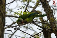 14 de abril de 2017-RRR01870 (Tres-R) Tags: vigo galicia españa es tresr rodolforamallo sonyrx10iii spain airelibre animals animales cotorraparrot pajarosbirds