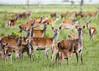 Oostvaardersplassen (Hans van der Boom) Tags: nederland netherlands ijsselmeerpolders flevopolder oostvaarderplassen animal deer herd doe young many lelystad nl