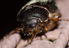 June Beetle (reg5145) Tags: beetle ladybeetle red insect nature outdoors maro closeup nikon nikond7000 tamron90mm 90mm bugs junebug