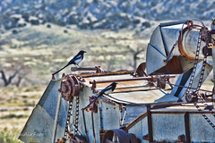 Home For The Birds (RootsRunDeep) Tags: wild birds combine aged decay rust ruin abandoned magpie feathers wyoming rural country ranch prairie farm equipment agriculture
