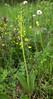 Listera ovata (Twayblade) (Hugh Knott) Tags: listeraovata twayblade flora zermatt switzerland valais orchid orchidaceae helvetica