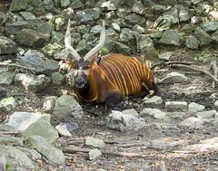 Memphis Zoo 08-31-2016 - Bongo 14 (David441491) Tags: bongo antelope memphiszoo
