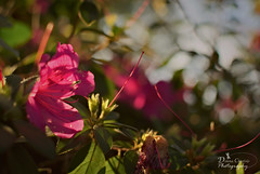 A Beautiful Mess (donna.chiofolo) Tags: flower bokeh nature leaves chaos beauty mood atmosphere focus blur autism blue moodphotography pink green spring
