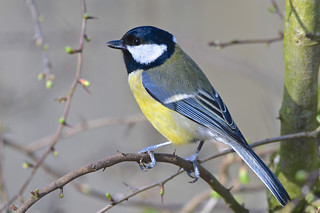 Great Tit.......