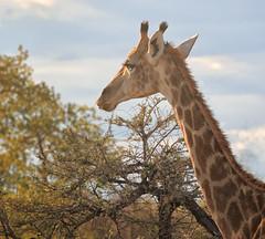 A giraffe at sunset (rachelsloman) Tags: sunset giraffe kwai botswana