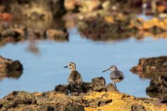 Pacific Golden Plover and Grey-tailed Tattler, Darwin, NT, Australia, Jan 2017 (svante880) Tags: australia darwin eastpoint greytailedtattler nt northernterritory pacificgoldenplover wildlife