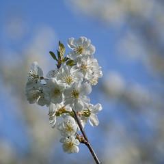 Le temps des fleurs *---- °---° (Titole) Tags: bloomingtree squareformat bluesky titole nicolefaton challengegamewinner
