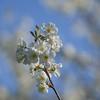 Le temps des fleurs ----- °---° (Titole) Tags: bloomingtree squareformat bluesky titole nicolefaton challengegamewinner