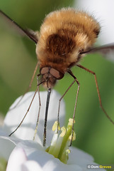 Bee-fly refuel III (Dom Greves) Tags: beefly behaviour bombyliusmajor cardaminepratensis cuckooflower darkedgedbeefly feeding insect invertebrate largebeefly march nectaring spring surrey uk wetland wildlife woodland