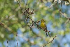 bruant jaune - Yellow bunting -  Ammer (oudjat45) Tags: bruantjauneyellowbuntingammer oiseau jaune bird yellow vogel gelb branche bokeh bleu blue vert grûn green nature