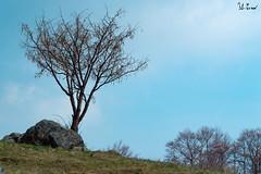 Albero solitario, Combe Chianocco (f.cevrero) Tags: trees albero alberi blue sky cielo blu spring landscape vert verde green roccia rocks paesaggio alpino alps clouds nuvole nikon d3200 chianocco torino primavera valsusa combe alpi italy italia
