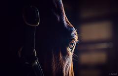 - (Jen MacNeill) Tags: warmblood farm horse eye eyes watermarkfarm equine stable barn