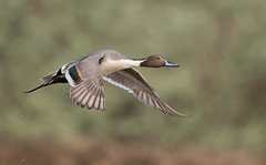 Northern Pintail drake Gilbert water ranch az (mandokid1) Tags: canon canon500f4 1dx birds arizona