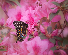 Early Spring Visitor (Charles Opper) Tags: azalea canon georgia spring blackswallowtail butterfly color flowers nature swallowtail midway unitedstates