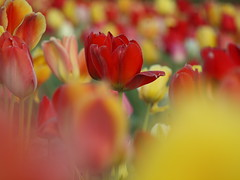 TULIPS IN 2017_4085117 (hans 1960) Tags: tulpen tulips outdoor flower fleur blossoms farben colour bunt gelb yellow red rot nature natur spring frühling printemps primavera bokeh germany
