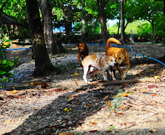 ,, Freckles, Mama, BTP ,, (Jon in Thailand) Tags: dmz mama freckles littlefreckles dog k9 tree jungle dogs k9s nikon d300 nikkor 175528 eyes nose tail blue green spots tongue btp ears monkeytemple expressions kiss littledoglaughedstories