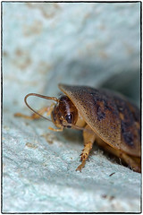 Dubia Roach 2 (Pentax_Phil) Tags: roach bug dubia insect macro
