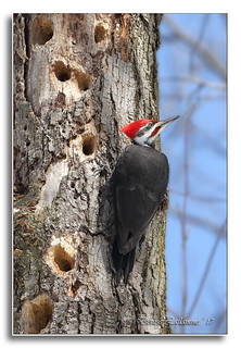 103A9947-DL   Grand pic (mâle) / Pileated Woodpecker (male).