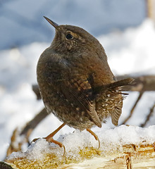 _Q8A3465PrelimPacificWrenSmall (birdbug3) Tags: troglodytes pacificus