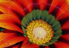 macro (verridário) Tags: blumen flower flor fleur coresvivas macro sony natural nature flora cor collor colore blume 花 꽃 λουλούδι bloem blóm fiore kwiat цветок çiçek природа φύση macrodreams