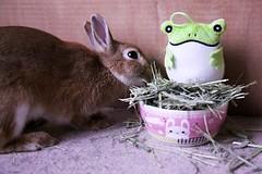 Ichigo san 674 (Ichigo Miyama) Tags: いちごさん。うさぎ ichigo san rabbit bunny netherlanddwarf brown ネザーランドドワーフ ペット いちご うさぎ