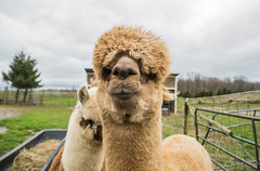 medina-7722 (FarFlungTravels) Tags: alpaca animal farm medinacounty onefineday shear wool